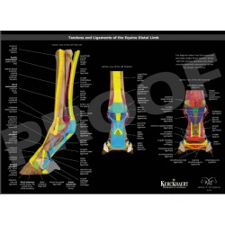 Poster, TENDONS & LIGAMENTS OF THE EQUINE DISTAL LIMB